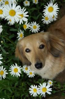 花とダックス.jpg